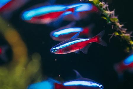 Conheça 3 espécies de peixes que podem ser criadas juntas